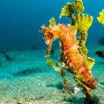 Seahorses of all types are common when you're muck diving off Dauin. We spotted this one just north of Dauin, near Dumaguete.