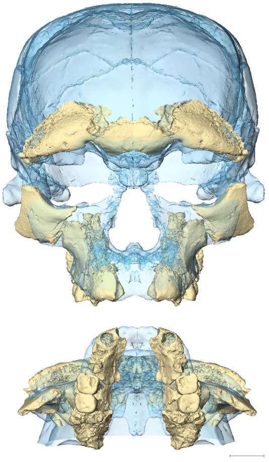 Superposition de deux reconstitutions de la face des fossiles Irhoud 10 (beige) et Irhoud 1 (bleu), parmi plusieurs possibles: toutes se situent dans la variabilité des visages retouvés chez les hommes actuels.