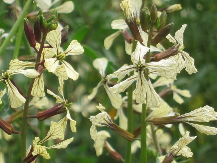 arugulaflowers