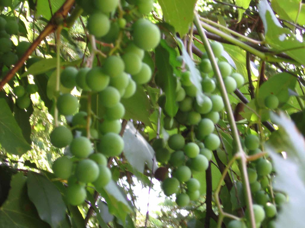Photo of nice grapes