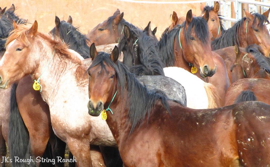 Mustang Geldings