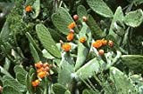 Φραγκόσυκο κάκτος 15 Σπόροι-Opuntia ficus