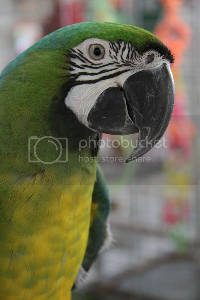 colorful parrots photo:  IMG_3761.jpg