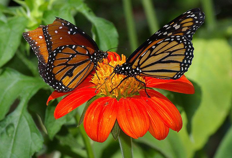 File:Butterflies UFmuseum.jpg