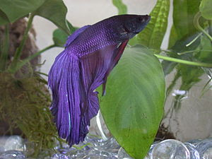 English: Blue and red super-delta Betta splend...