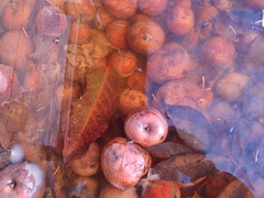 rotten apples under water