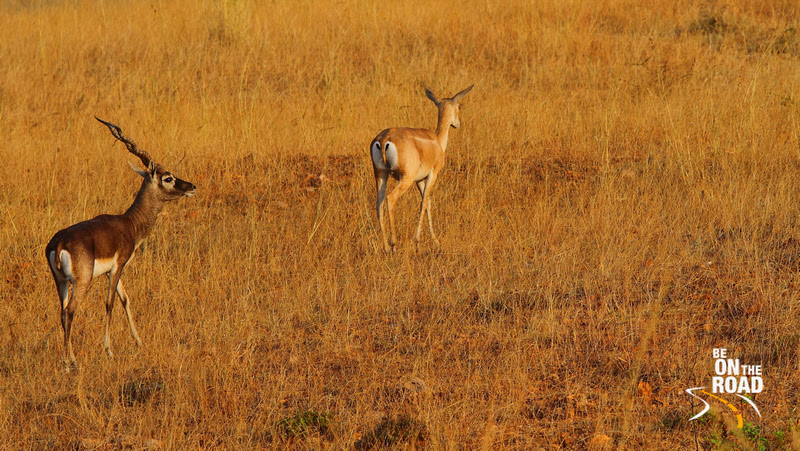 Female blackbuck followed by a male
