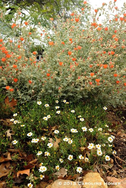 globe mallow & blackfoot daisies