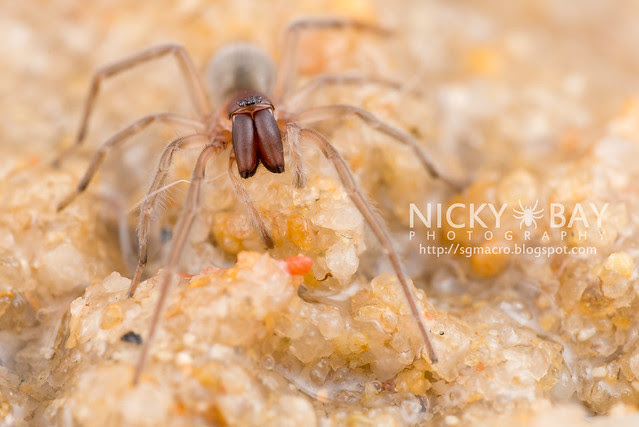 Intertidal Spider (Desis sp.) - DSC_5297