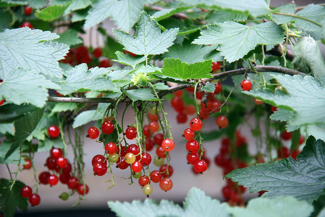 IMG_2672 red currants