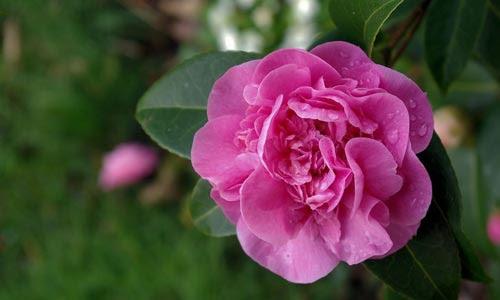http://flores.florpedia.com/images/flores-camelias-p.jpg