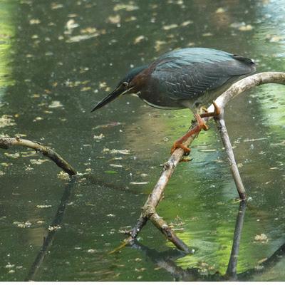 Ed Gaillard: recent &emdash; Green Heron, Azalea Pond, Central Park