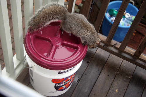 squirrel on the compost bucket