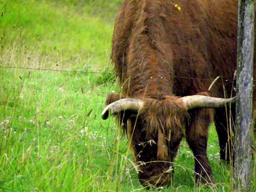 Highland Cattle - Cow