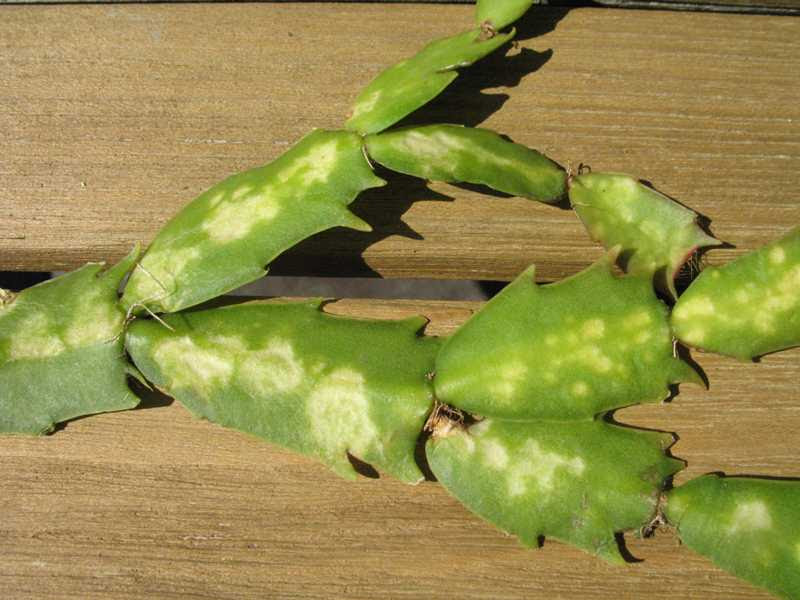 Super Cactus Disease WL74 – Roc munity