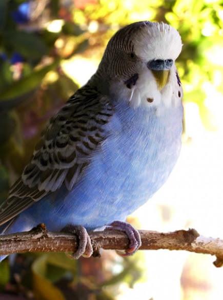 Muhabbet Kuşu Resimleri Ve Fotoğrafları
