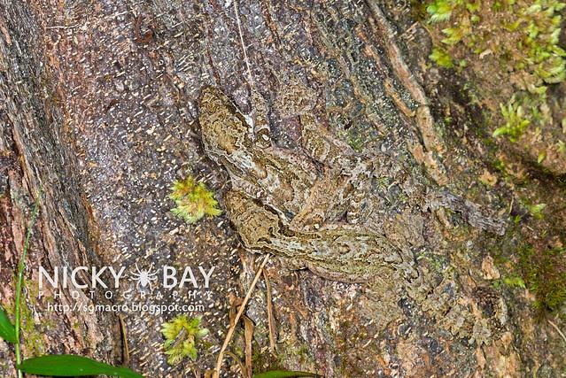 Kuhl's Flying Gecko (Ptychozoon kuhli) - DSC_9280