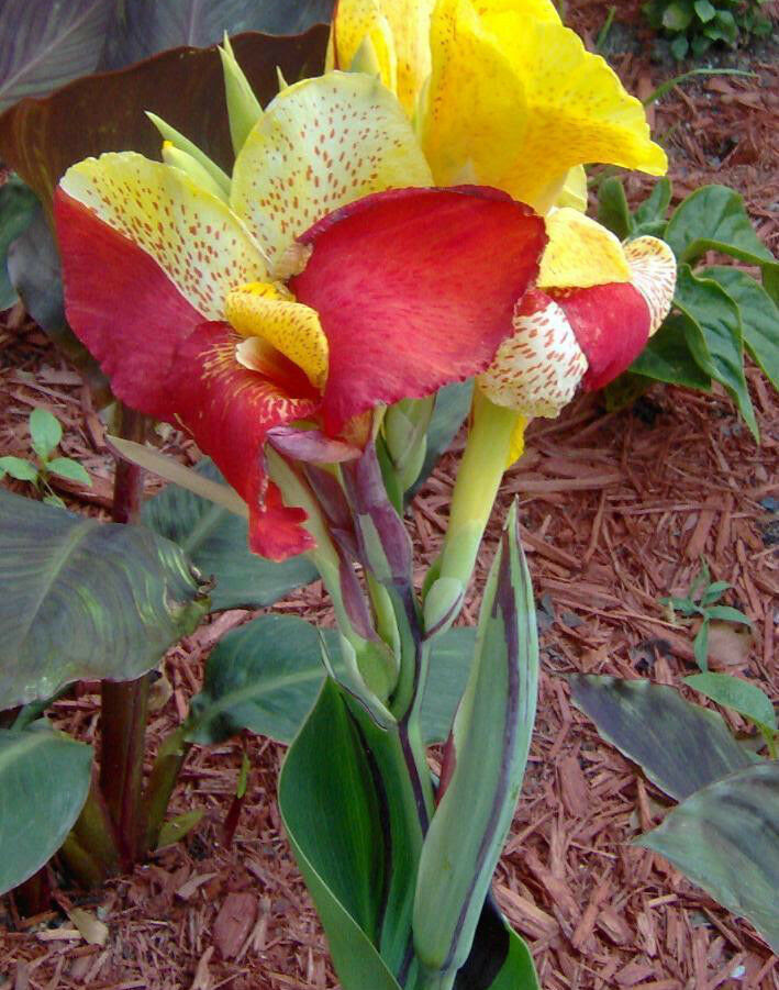 Canna Lily Bulb - CLEOPATRA - Cannaceae - Great Potted ...