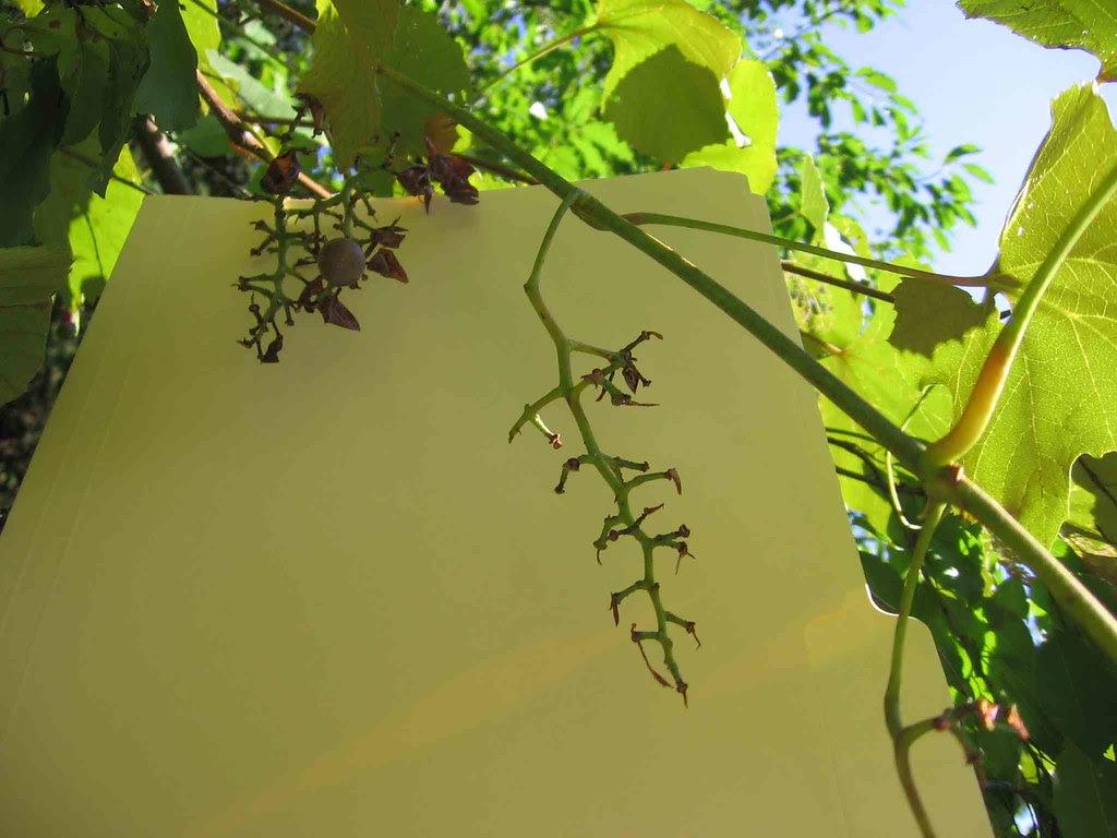 Photo 2 of no nice grapes