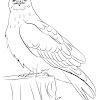 Rough Legged Hawk Drawing