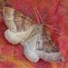 1745 The Mallow (Larentia clavaria)