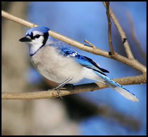 blue jay bird count