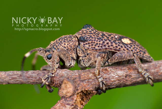 Longhorn Beetle (Cerambycidae) - DSC_1968