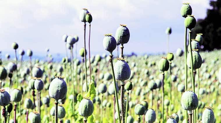 Myanmar opium production