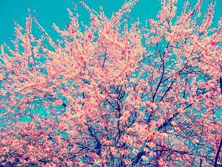 Cherry Blossoms, Allamuchy NJ 5