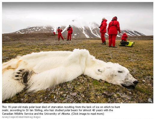 Un ours blanc meurt de faim en Norvège