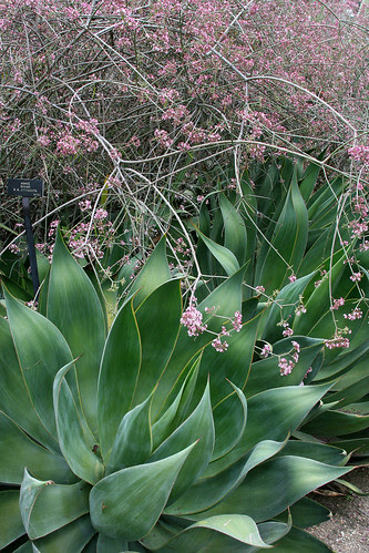 huntington agave attenuata x shawii and euphorbia