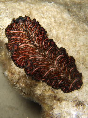 Persian Carpet Flatworm, Dayang