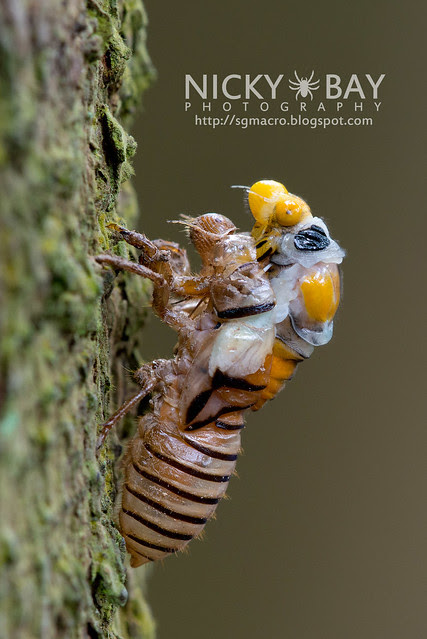 Black and Golden Cicada (Huechys fusca) - DSC_9020