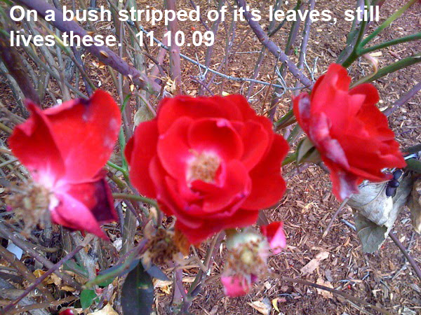 Roses on a bush in late fall