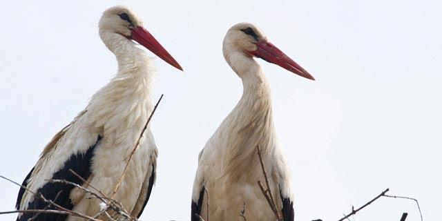 Una pareja de cigüeña blanca posa en su nido. | Efe