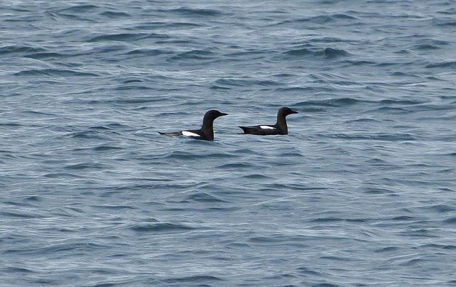 27084 - Black Guillemots, Isle of Mull