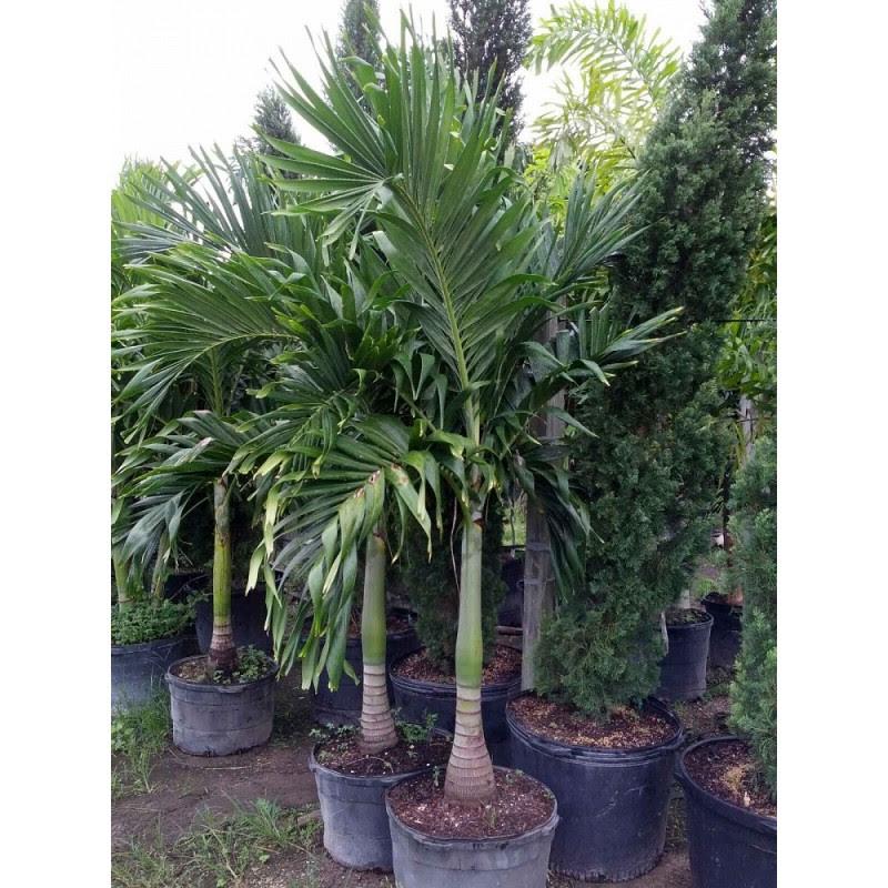Christmas Palm Tree Adonidia Merrillii Florida Coconuts Store