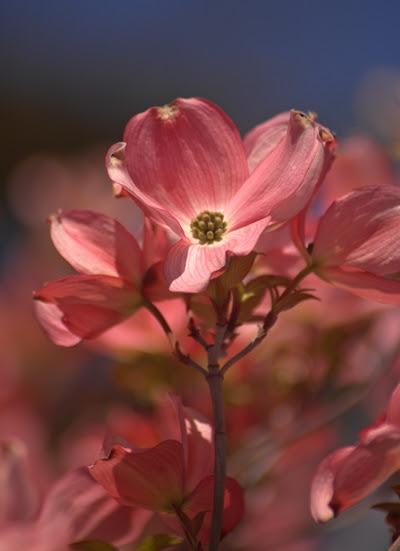 04-22-2010_dogwood_flower_rs