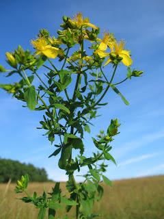 Лекарственные растения - Зверобой продырявленный