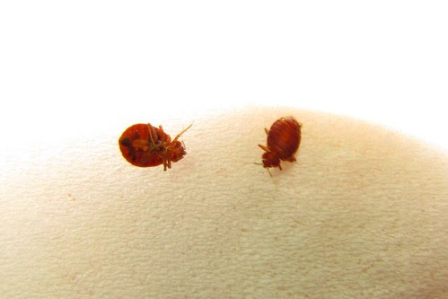 IMG_6473_Bedbugs_at_Best_Western_Paducah_KY