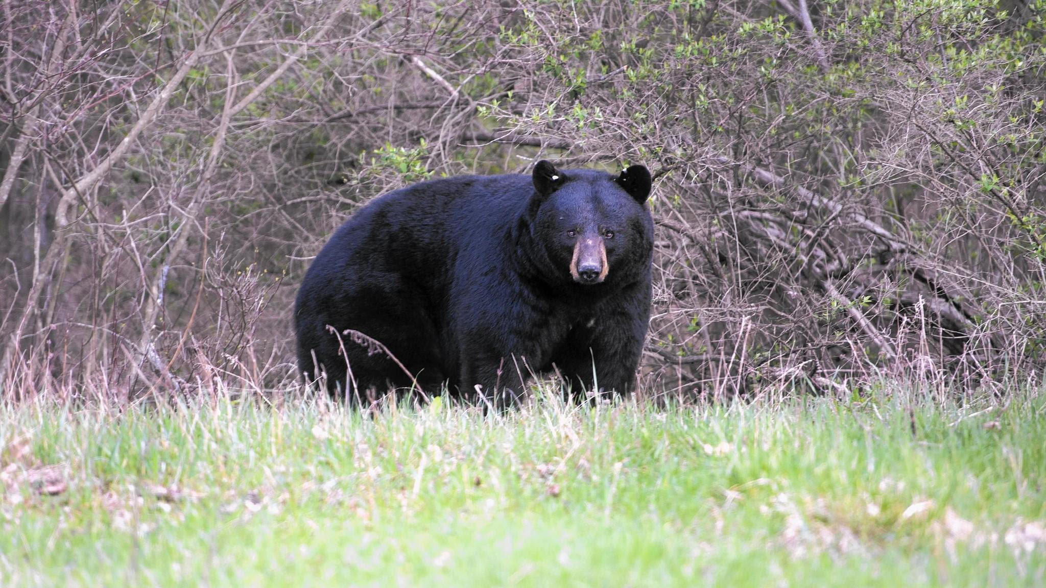 Image result for PA black bear