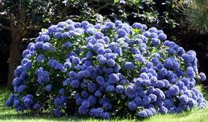 http://t2.gstatic.com/images?q=tbn:xGSCzoxNpDNv1M:http://www.grupoespacios.es/wp-content/uploads/2007/11/hortensias_azules.jpg&t=1