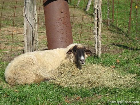 (24-4) Eight year old Teddy, my giant spoiled pet wether - FarmgirlFare.com