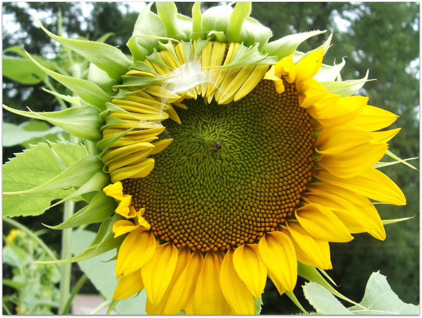 Giant Gray Stripe Sunflower by Angie Ouellette-Tower for godsgrowinggarden.com photo 010_zps9daa47cc.jpg