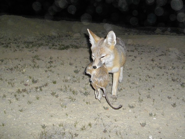 kit fox w krat