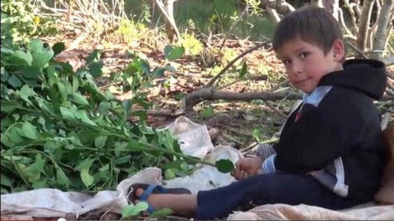 El 70% de niños cuyas familias cosechan yerba mate no tienen cobertura salud.