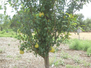 2016 Orchard Pears