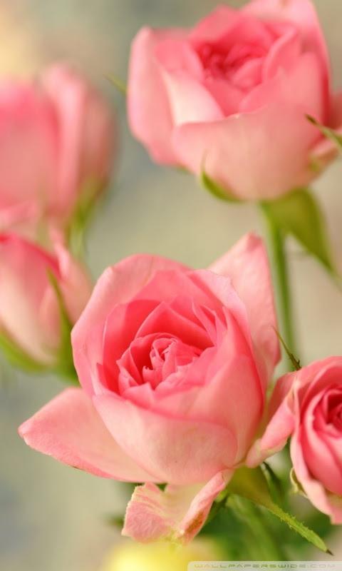 Cute Pink Roses 4k Hd Desktop Wallpaper For 4k Ultra Hd Tv Wide