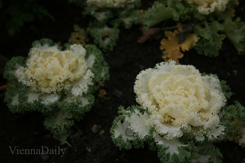 cauliflower lie flowers