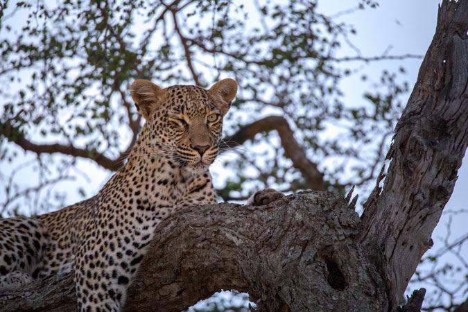 Amur Leopard Wikipedia
